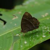 Taygetis uzza A. Butler, 1869 (?). Fundo Palmarito, 265 m (Yopal, Casanare, Colombie), 8 novembre 2015. Photo : J.-M. Gayman