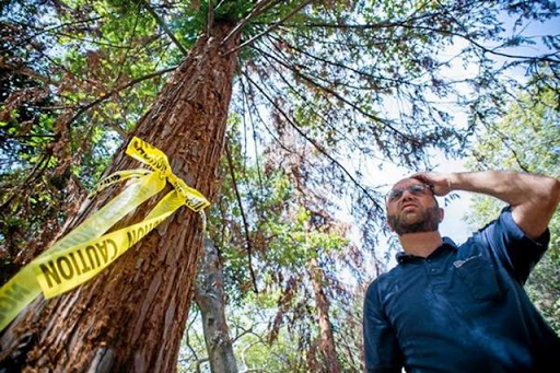 Arborist and Parks Service Manager Koko Panossian stands before a dying redwood tree which is slated to be taken down at Verdugo Park in Glendale, 11 May 2015. Panossian and fellow Aborist William McKinley are seeing the effects of the drought on a stand of California Coast Redwood Trees at the park. Photo: Sarah Reingewirtz / SGV Tribune
