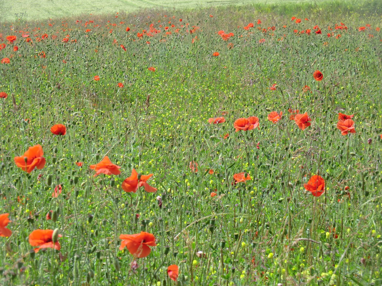 CIMG8854 Poppies, South Downs