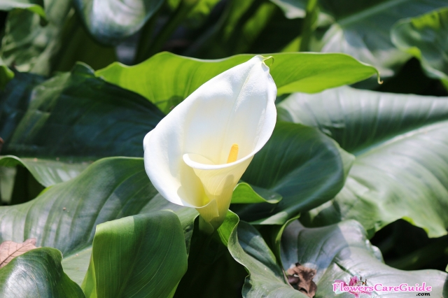 How To Take Care Of Calla Lily Instruction To Grow Calla Lily