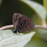 Thecla lisus STOLL, 1790, femelle (ou bien : T. phegeus ou T. viresco). Piste Coralie (Guyane). 26 novembre 2011. Photo : M. Belloin