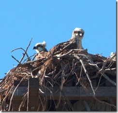 Osprey Chicks on their Nest