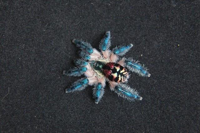 Tarantula Jewel Dari Brazil Yang Cantik