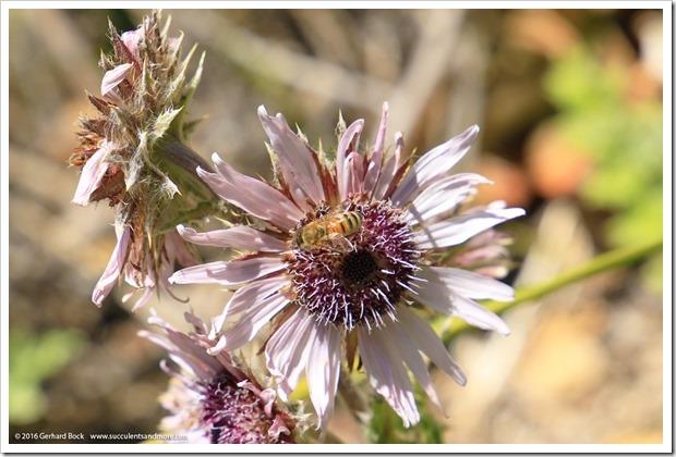 150710_UCBG_096_berkheya-purpurea