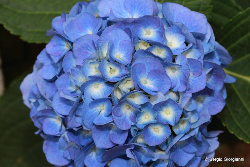 Gran burrone l 39 ultima dimora accogliente ortensia blu - Ortensia blu ...