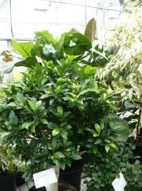 Figowiec tępolistny w doniczce Ficus microcarpa in pot