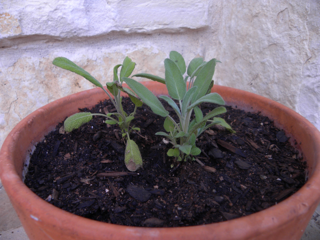 Diane 39 S Texas Garden Kitchen Garden Herbs
