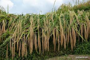 Balijska odmiana ryżu