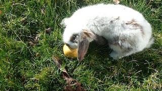 [adoptée] Sunny, lapin bélier courageux Sunny8-18371