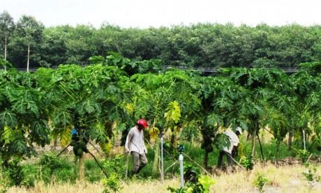 Cây đu đủ trồng xen canh trong vườn cao su tiểu điền ở Phước Long