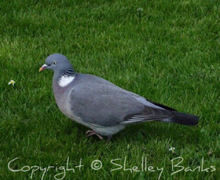 Wood Pigeon. Paris. Copyright  © Shelley Banks, all rights reserved.