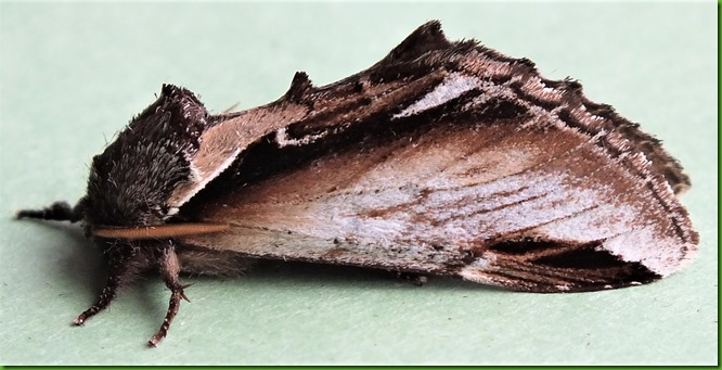 71.018 Lesser Swallow Prominent August 2017