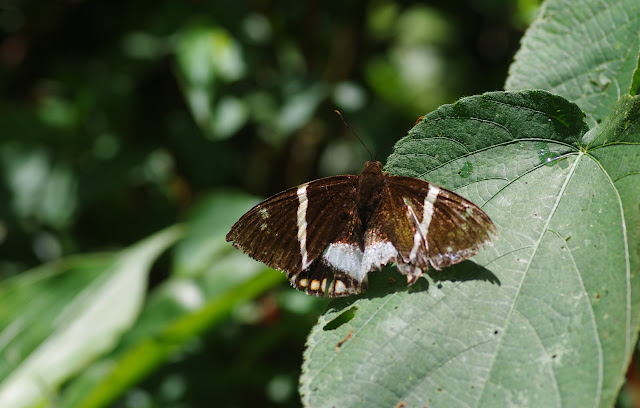 Telchin licus albomaculata (Houlbert, 1917). Cascade entre Cachipay et San Rafael, à l'est de Santa María en Boyacá, 890 m (Boyacá, Colombie), 3 novembre 2015. Photo : J.-M. Gayman