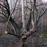 Березка и яблоня - по возрасту березки можно определить когда сад был заброшен