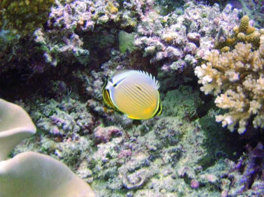 Chaetodon lunulatus (Oval Butterflyfish), Naigani Island, Fiji.