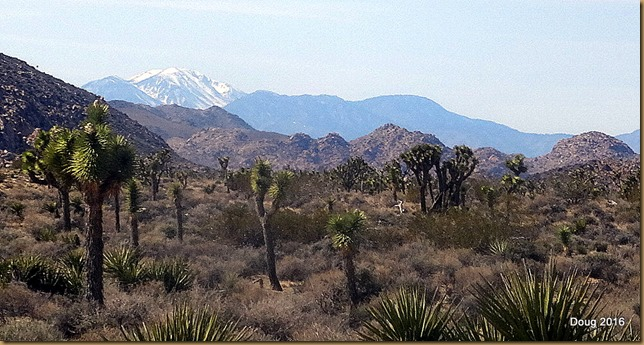 Joshua Trees with San Gorgonio Mountain