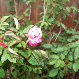 Gardening 2010 - 101_0532.JPG