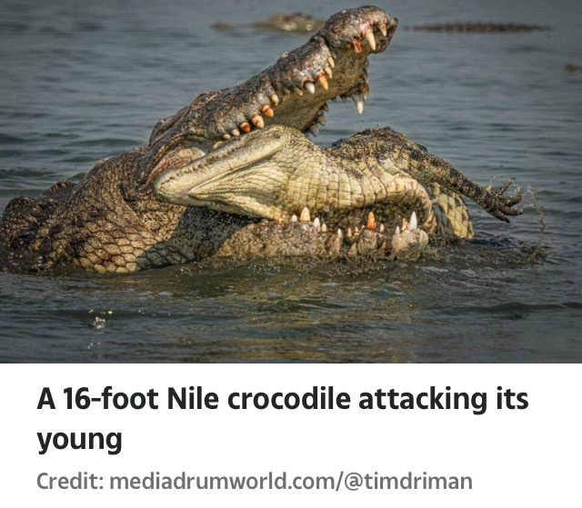 For 3 hours : 16-Foot Crocodiles Feed On Their Young Ones In Botswana (Pictures)
