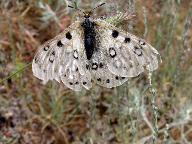 Parnassius (Parnassius) apollonius narynus FRUHSTORFER, 1908 (mâle très défraichi). Tian Shan, Baybiche Tau, Beurolly road (2250 m), Kyrgyzistan, juillet 2009. Photo : J. Ouvaroff