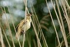 HAUT PERCHEE   La rousserolle aime chanter du haut des roseaux qui entourent son nid