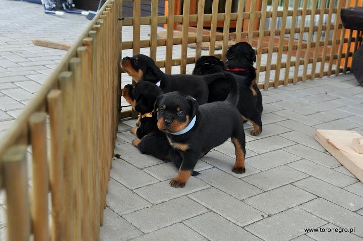 Hodowla psów rasowych toro negro