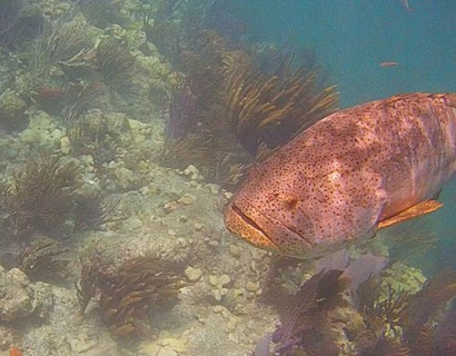 Goliath Grouper/Jewfish