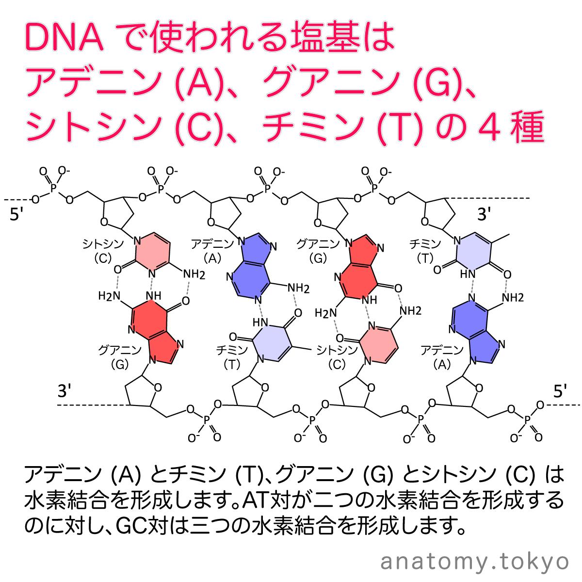 t112-23-DNAの塩基(アデニン・グアニン・シトシン・チミン).png