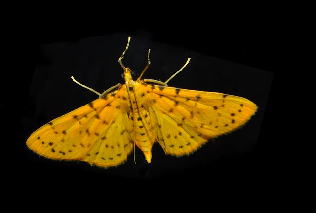 Crambidae : Pyraustinae : Conogethes punctiferalis GUENÉE, 1854. Umina Beach (N. S. W.), 23 novembre 2011. Photo : Barbara Kedzierski