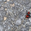 Red velvet ant Cow killer