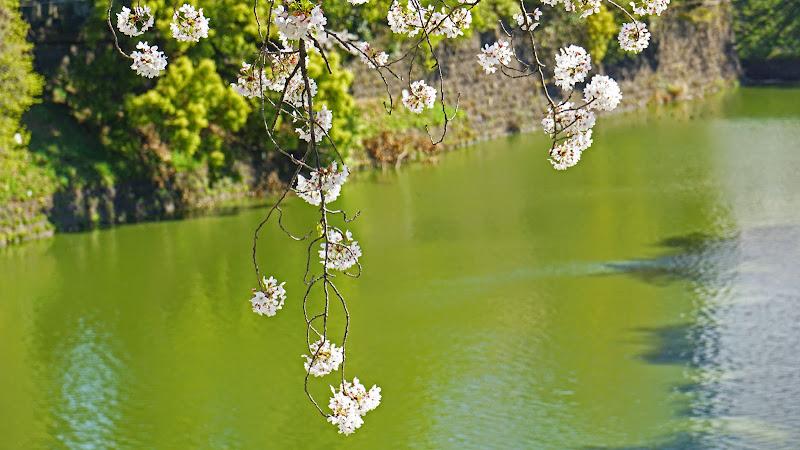 千鳥ヶ淵 桜 写真5