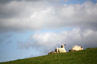 Sheep in a field in the Eden Valley in northern England