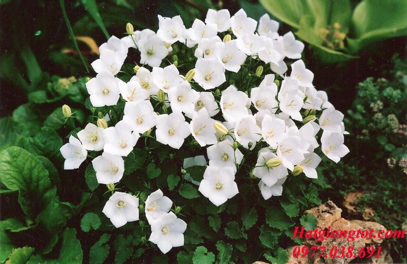 Hạt giống hoa chuông trắng