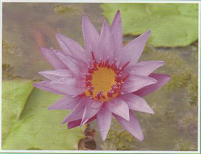 Water lily medicinal plantshealing ponds of india and other countries in souuth east asia is indeed a very magnificent sight to any weary travelere plant belongs to the plant family mightylinksfo