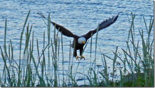 Bald Eagle, Resurrection Bay, Seward Alaska