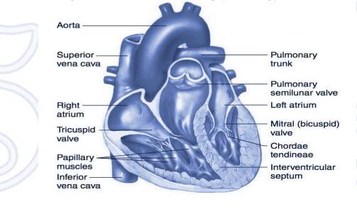 كتاب فسيولوجيا القلب والأوعية الدموية pdf