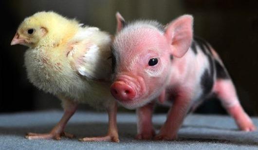 Mini Pigs 4