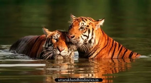 tigers playing in water, jim corbett park