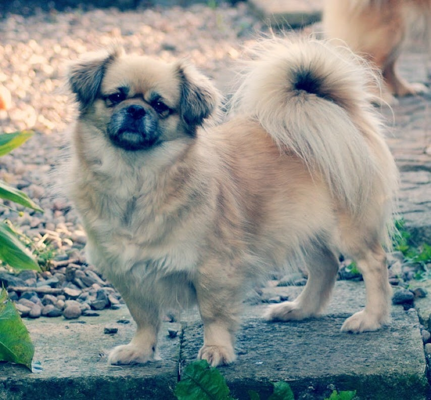 perro spaniel tibetano para convivir con niños
