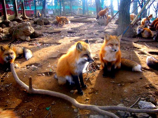 zao-fox-village-japan-12-645x483(2)