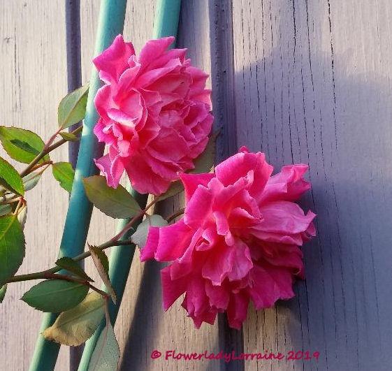 [12-31-carnation-roses%5B4%5D]