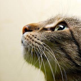 It's Me by Renata Apanaviciene - Animals - Cats Portraits ( cat, kitten, fauna, close up, animal, #GARYFONGPETS, #SHOWUSYOURPETS,  )