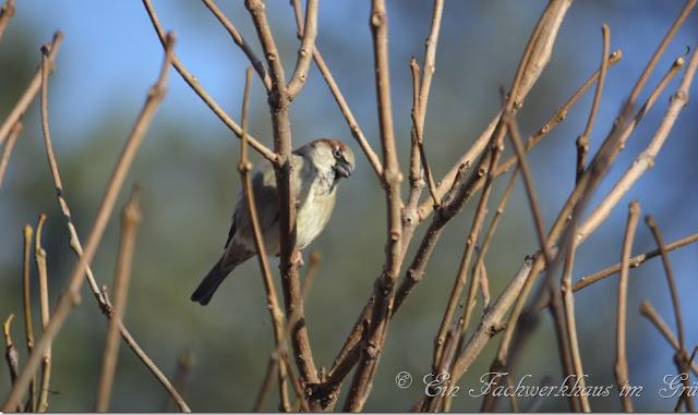 Vögel im verschneitem Januar Garten