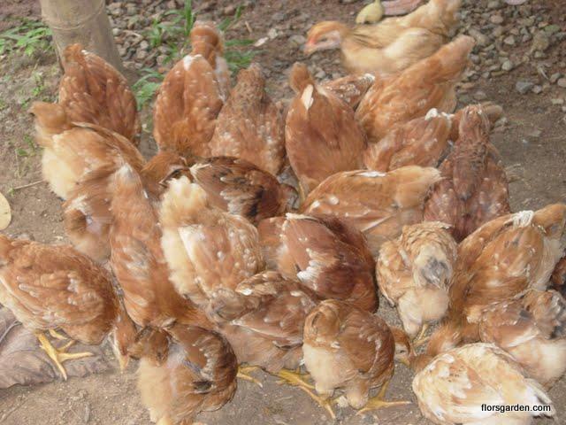 Free Range Chicken - DSCN2134.JPG