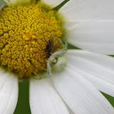 Thomisidae : Misumena vatia (CLERCK, 1757). Les Hautes-Lisières (Rouvres, 28), 14 juin 2012. Photo : J.-M. Gayman