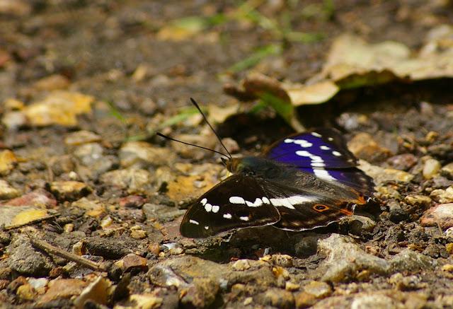 Apatura iris L., 1758, mâle. Les Hautes-Lisières (Rouvres, 28), 21 juin 2011. Photo : J.-M. Gayman