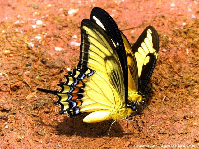 Heraclides androgeus laodocus (FABRICIUS, 1793), mâle, au premier plan. Et Heraclides astyalus astyalus (GODART, 1819) (= Papilio lycophron lycophron HÜBNER, 1818). Pitangui (MG, Brésil), 11 février 2012. Photo : Nicodemos Rosa