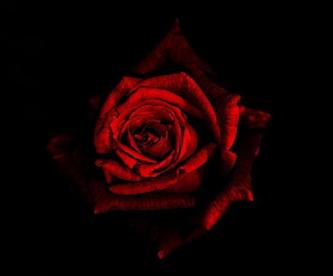 Adore_Rose