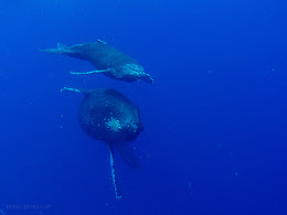 Baby humpback and mom.
