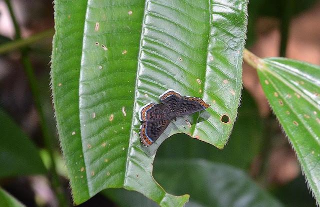Detritivora cleonus (STOLL, 1781), femelle. Saül, novembre 2012. Photo : M. Belloin