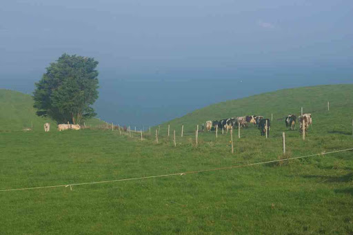 Troupeau de vaches normandes.